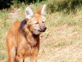 Maned wolf (Chrysocyon brachyurus) portrait — Stockfoto