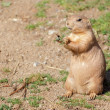 Black-tailed prairie dog (Cynomys ludovicianus) portrait — Stock Photo #29989605