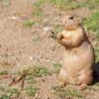 Black-tailed prairie dog (Cynomys ludovicianus) portrait — Stock Photo