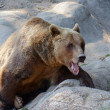 Brown bear (Ursus arctos) on the rock — Stock Photo