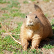 Black-tailed prairie dog (Cynomys ludovicianus) portrait — Stock Photo