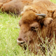 European bison (Bison bonasus) resting portrait — Stock Photo