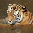 Siberian tiger in water portrait — Stock Photo