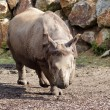 Rhinoceros walking toward camera — Stock Photo