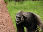 Old common chimpanzee (Pan troglodytes) looking for — Stock Photo
