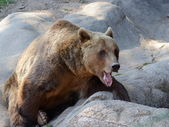 Brown bear (Ursus arctos) on the rock — Foto Stock
