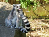 Ring-tailed lemur cleaning tail portrait — Stock Photo