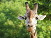 Rothschild giraffe (Giraffa camelopardalis) portrait — Photo