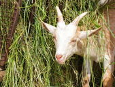 Kid of domestic goat portrait — Stock Photo
