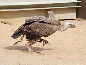 Griffon Vulture (Gyps fulvus) running — Stock Photo