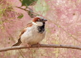 Eurasian Tree Sparrow (Passer montanus) portrait — Stock Photo