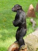 Common chimpanzee (Pan troglodytes) stay — Stock Photo