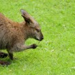 Kangaroo on meadow - side view — Stock Photo