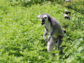 Ring-tailed lemur in the grass — Stock Photo