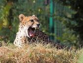 Cheetah closeup portrait — Stock Photo