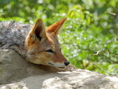 Black-backed jackal closeup portrait — Stock Photo