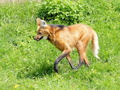 Maned wolf on the grass — Stock Photo