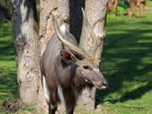 Antelope Bongo portrait — Stock Photo