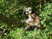 Ring-tailed lemur in the tree — 图库照片