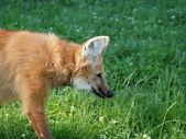 Ritratto di lupo dalla criniera — Foto Stock