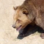 Walking brown bear portrait — Stock Photo #30347987