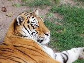 Lying siberian tiger potrtrait — Foto de Stock