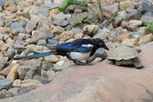 Magpie watching turtle - detail — Stock Photo