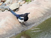 Magpie on the bank of pool — Stock Photo