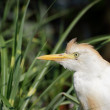 Heron Cattle Egret protrait — Stock Photo
