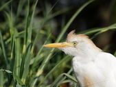 Heron Cattle Egret protrait — Stock Photo