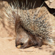 Defending porcupine portrait — Stockfoto #31073681