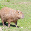 Capybara on the pasture — Stock Photo