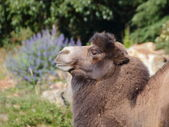 Standing camel side portrait — Stockfoto