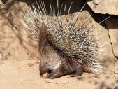 Defending porcupine portrait — Stock Photo