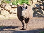 Rhinoceros in move - portrait — Stock Photo
