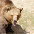 Stock Photo: Big brown bear portrait