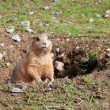 Prairie dog in the hole closeup view — Stock Photo