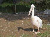 Büyük beyaz pelikan — Stok fotoğraf