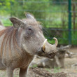 Common warthog portrait — Stock Photo #33916127