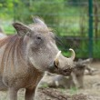 Stock Photo: Common warthog portrait