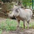 Common warthog closeup view — Stock Photo
