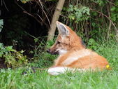Maned wolf resting - closeup view — Photo