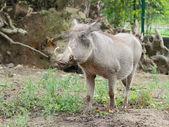 Common warthog closeup view — Stockfoto