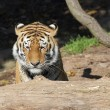 Siberian tiger behind tree trunk — Stock Photo