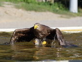 Sea eagle landing on water — Foto Stock