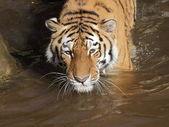 水のシベリアトラ — ストック写真