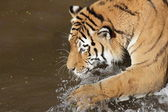 Siberian tiger in water — Stock Photo