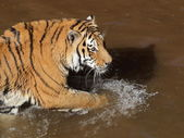 Siberian tiger in water — Photo