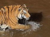 Siberische tijger in water — Stockfoto