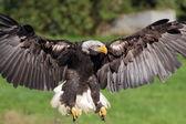 Landing Sea eagle closeup view — Zdjęcie stockowe